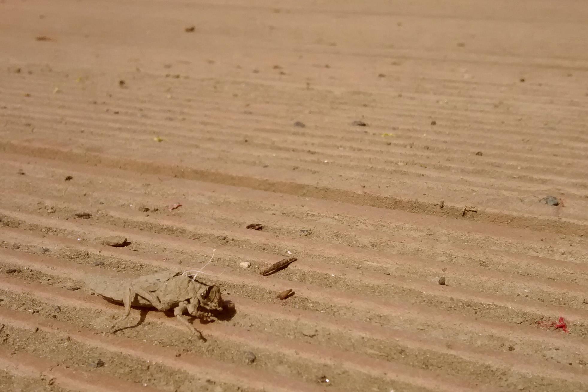 Exuvie (Larvenhülle) der Gemeinen Keiljungfer (Gomphus vulgatissimus). Steg an der Weißen Elster,  Pistorisstraße 04.05.2015