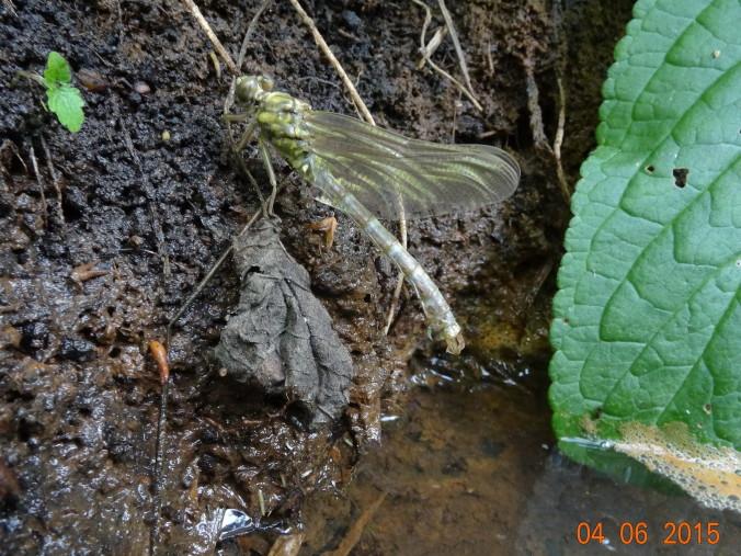 Kleine Zangenlibelle nach dem Schlupf